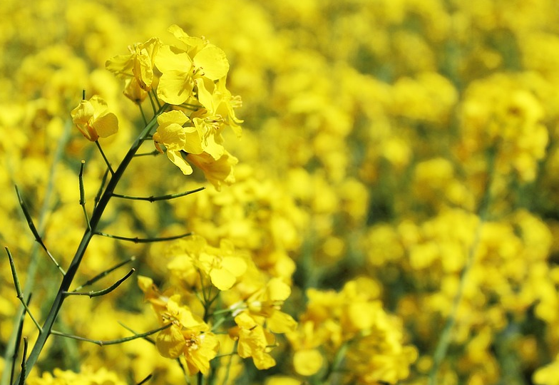 【愛知県田原市渥美半島】伊良湖菜の花ガーデンの開花状況は?